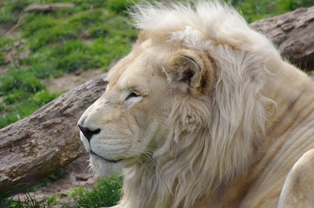 Lion at Philly Zoo Pixabay Public Domain