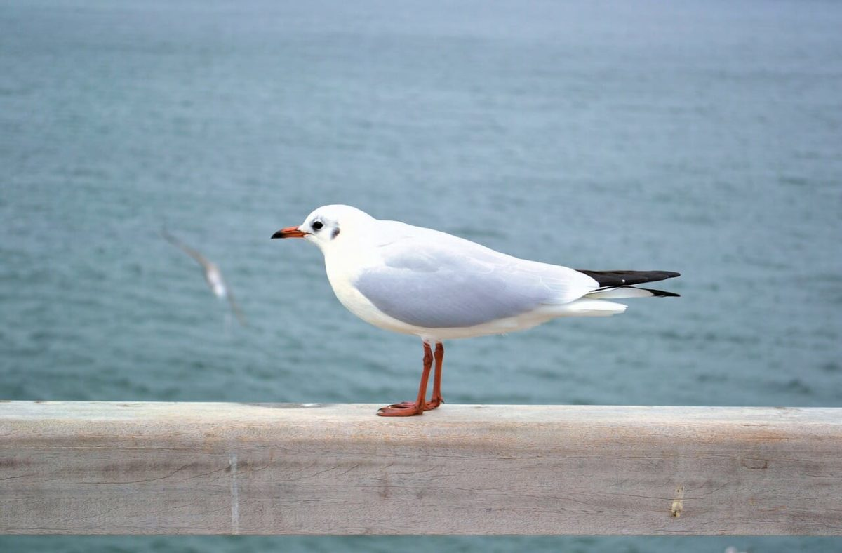 Waterfowl - Seagull