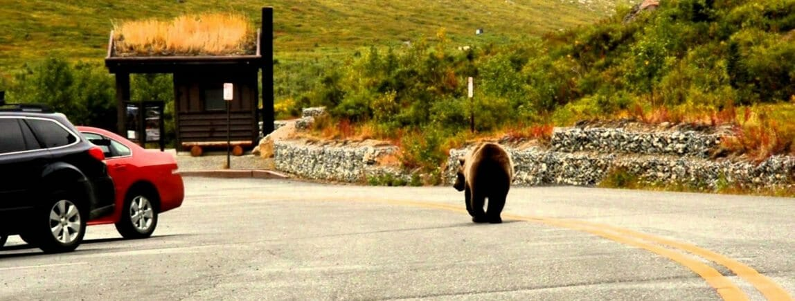 Grizzly bear on the Denali Park Road