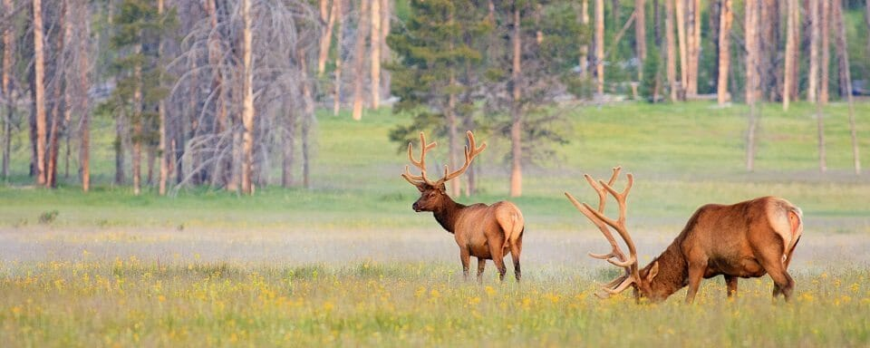 Two bull elk with velvet covered antlers graze in a field of wild flowers.