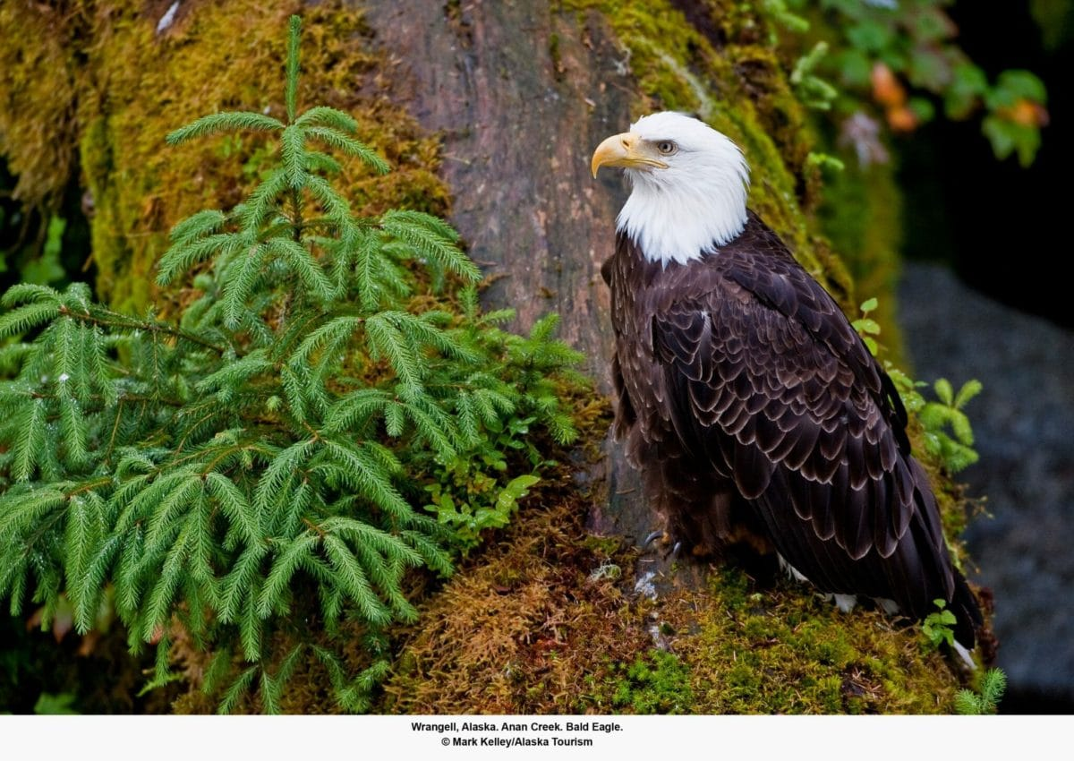 Bald Eagle Credit Mark Kelley/Alaska Tourism