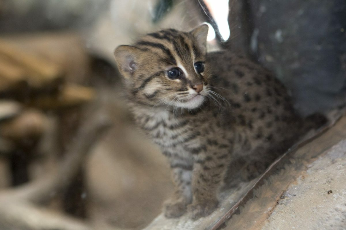 Miso-Chi, fishing cat Born: January 25 2017 Credit Denver Zoo